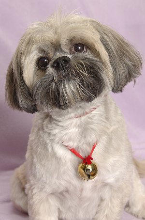 Dog Breed Lhasa Apso