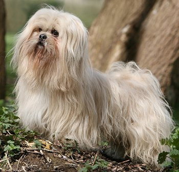 Lhasa Apso dog breed