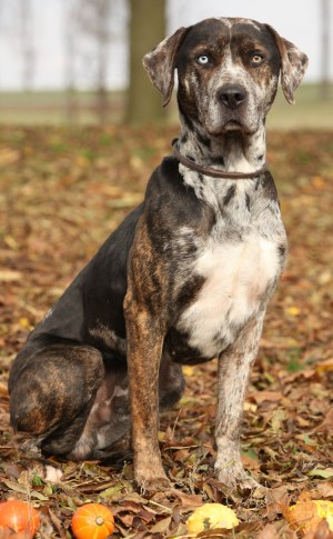 Catahoula Leopard Dogs What S Good About Em What S Bad About Em