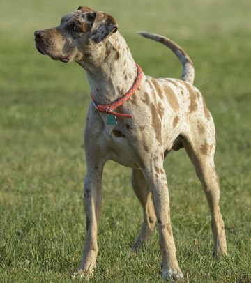 Training Louisiana Catahoula Leopard Dogs