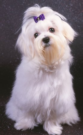 Maltese Dogs: Advice You Can Trust