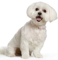 maltese dog. maltese dog breed i