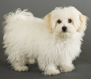 for Adult sale maltese