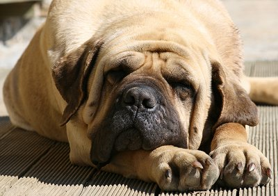 Old English Mastiff dog breed