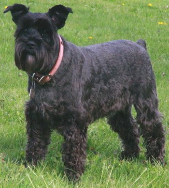 miniature schnauzer health problems feeding raising a