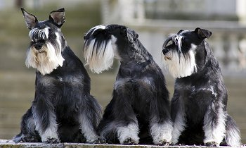 Miniature Schnauzer Faq Frequently Asked Questions