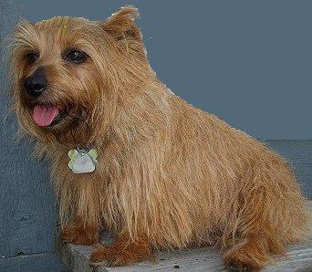 Training Norfolk Terriers The Sensible Way