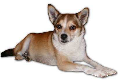 Norwegian Lundehund dog breed