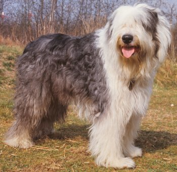 Old English Sheepdogs: What's Good About 'Em, What's Bad