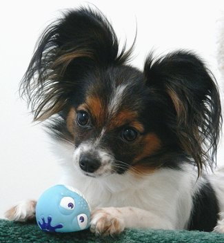 Papillons: the most honest dog breed review you'll ever find about ...