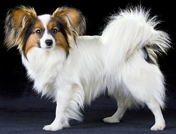 Papillon dog breed