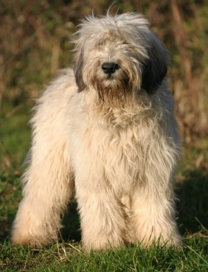 Polish Lowland Sheepdogs → Polish Lowland Sheepdog Breed Review