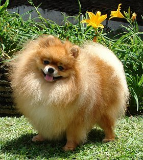 Pomeranians advice you can trust pomeranian dog breed thecheapjerseys Image collections