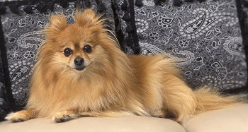 Pomeranians What S Good About Em What S Bad About Em