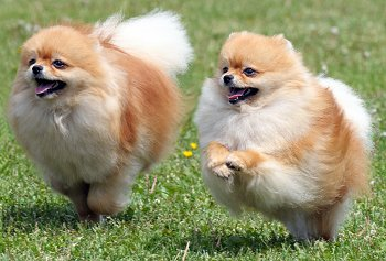 Pomeranian dog breed