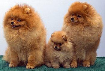 Ing Or Adopting A Pomeranian