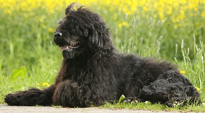 Portuguese Water Dog breed