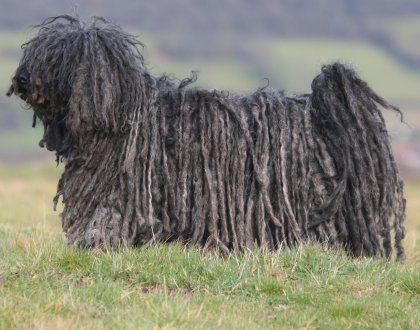 Puli Dogs Whats Good About Em Whats Bad About Em