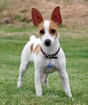 ... terrier personality, he's calmer than some terrier breeds such as