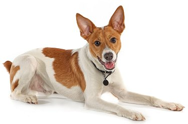 rat terrier personality