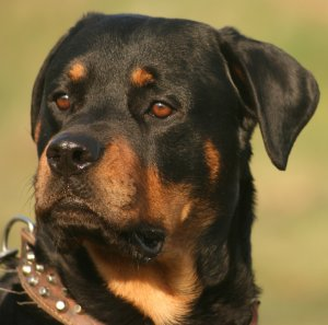 Buying Or Adopting A Rottweiler