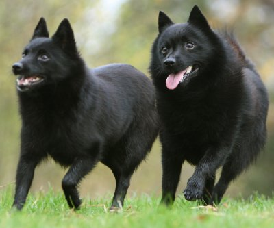 Shipperke Dog Breed Traits