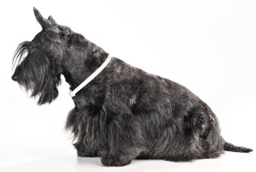 Buying Or Adopting A Scottish Terrier
