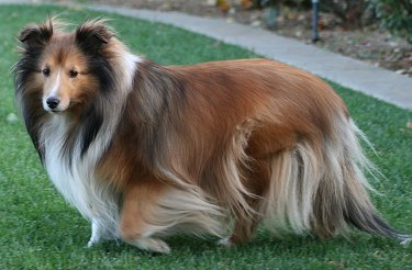 Adult Shelties For Sale