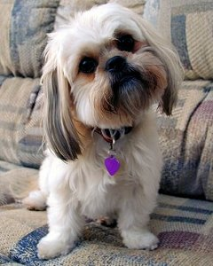 Image result for shih tzu dog