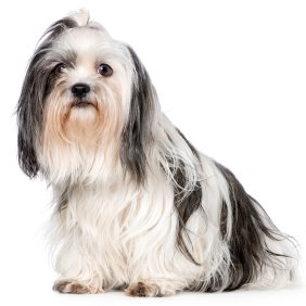 Shih Tzu dog breed