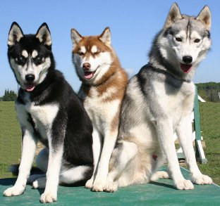 Siberian Husky dog breed