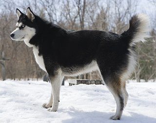 ... Husky FAQ: Frequently Asked Questions About Siberian Husky Dogs