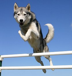 Training Siberian Huskies Sensible Dog Training