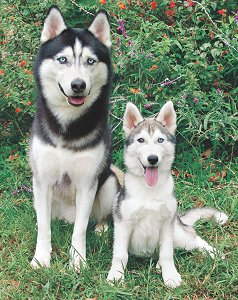Buying Or Adopting A Siberian Husky