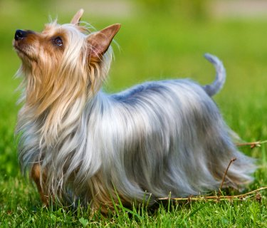 Silky Terriers What S Good About Em What S Bad About Em
