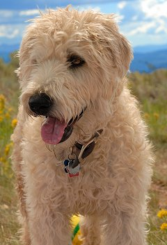 Soft Coated Wheaten Terriers What S Good About Em What S Bad About Em