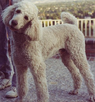 Poodle full breed