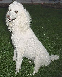 . Standard Poodles need extensive exposure to people and to unusual ...