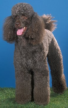 Standard Poodle Health Problems and Raising a Standard Poodle Puppy to