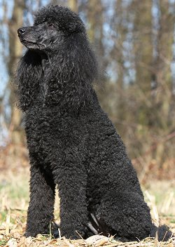 Best Natural Dog Food For Standard Poodles