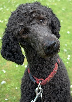 Buying or Adopting a Standard Poodle