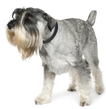 Standard Schnauzer dog breed
