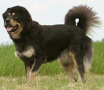 Tibetan Mastiff dog breed