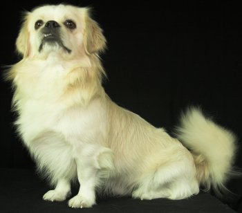 Tibetan Spaniel dog breed