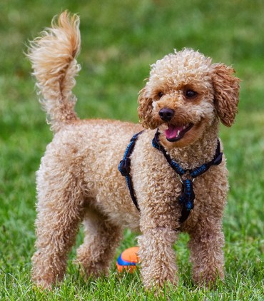 Training Toy Poodles Sensible Dog