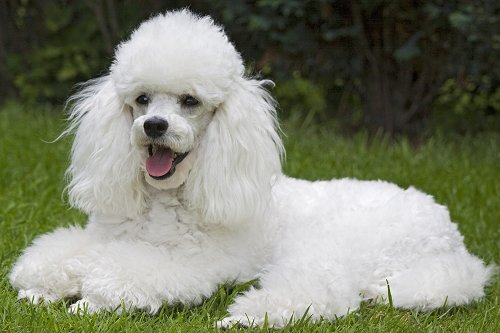 Toy Poodle dog breed