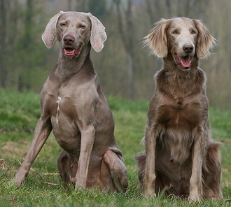 Weimaraner Puppies on Weimaraner Faq  Frequently Asked Questions About Weimaraner Dogs