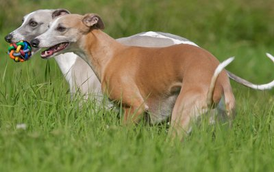Whippet dog breed