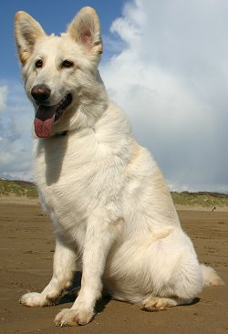 White German Shepherd dog breed