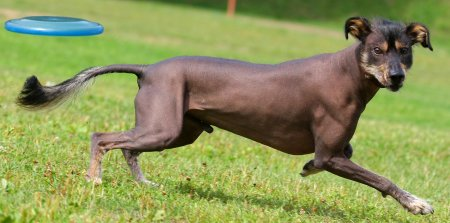 Xoloitzcuintle dog breed